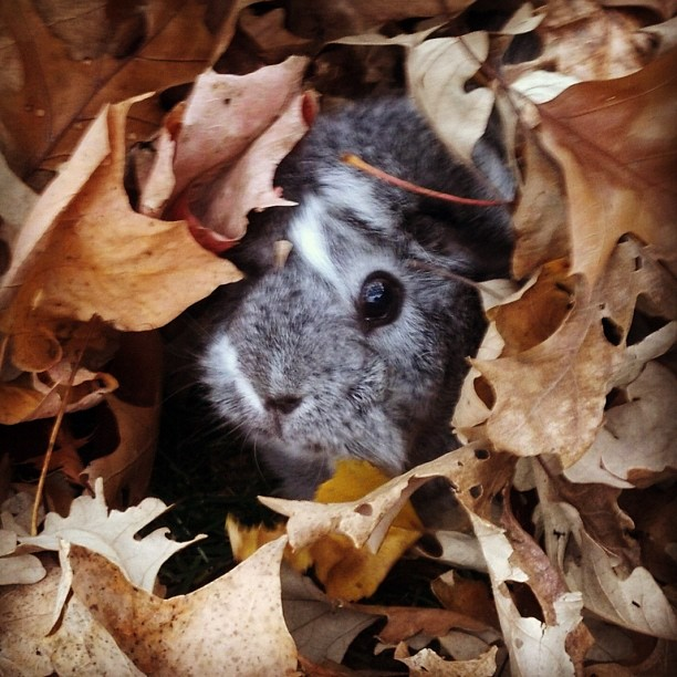 Guinea Pig in Leaves