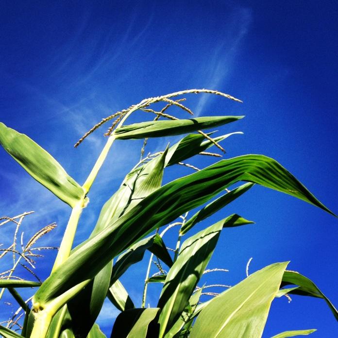 Petaluma Corn Maze